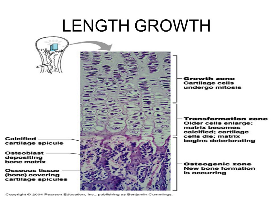 LENGTH GROWTH