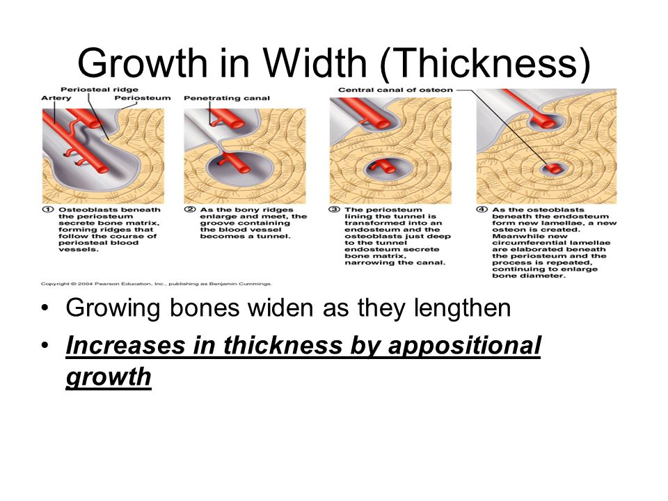 Growth in Width (Thickness)