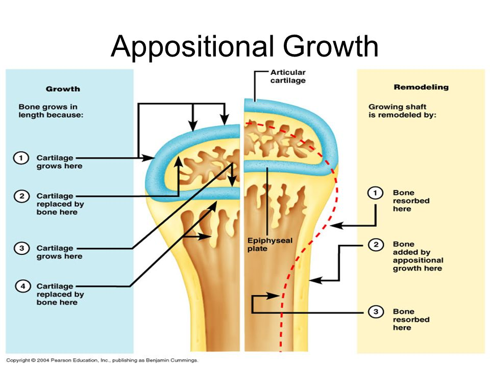 Appositional Growth