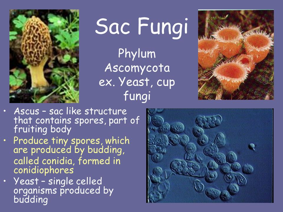 fungus and single celled fungi essay example The cell walls of fungi are unique in that they yeasts are any unicellular fungus being single celled and what are fungi - types and characteristics related.