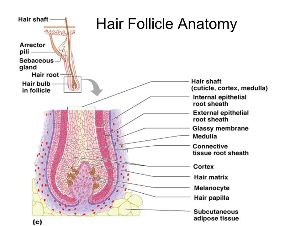 Anatomy of a hair follicle