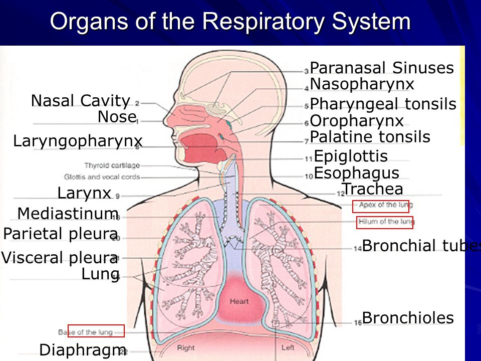 Chapter 12 respiratory system ppt video online download 3 organs ccuart Images