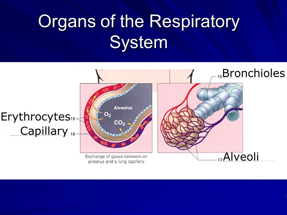 Chapter 12 respiratory system ppt video online download organs of the respiratory system ccuart Images