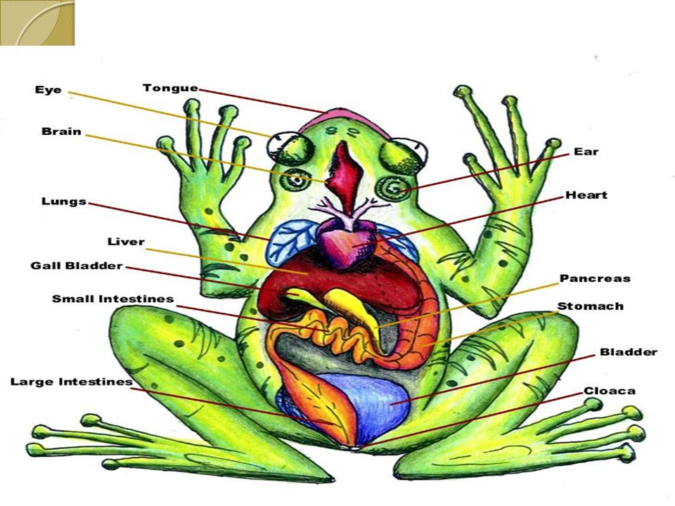 Internal frog anatomy diagram