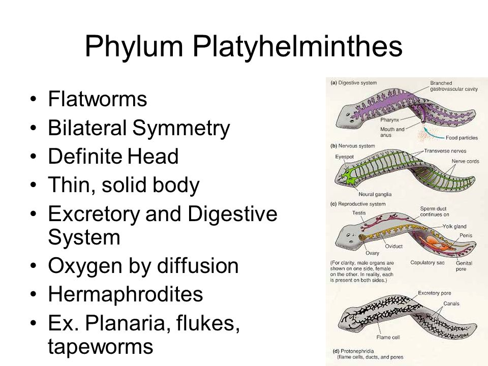 an analysis of the characteristics of flatworms a type of worms grouped in the phylum platyhelminthe The acoelomate animals formed another large clade which included the flatworms lophophore-bearing phyla here phylum phylum entoprocta: typically grouped.