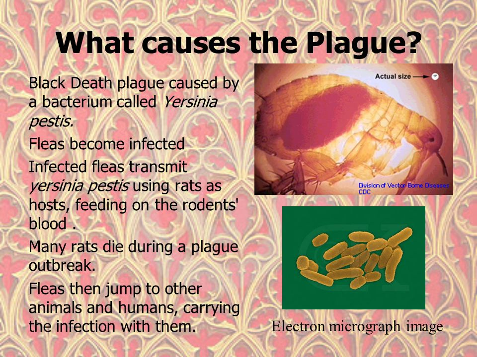 an overview of the plague caused by the yersinia pestis Author summary several historical epidemic waves of plague have been attributed to yersinia pestis, the etiologic agent of modern plague the most famous of these was the second pandemic which was active in europe from ad 1347 until 1750, and began with the 'black death.