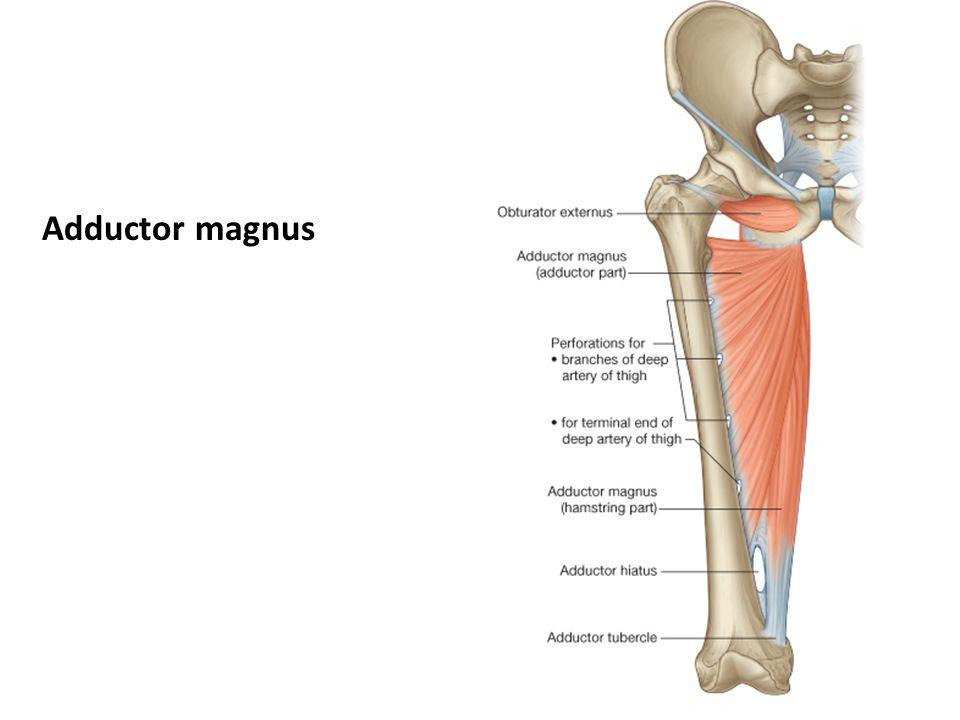 Adductors Adductor Magnus Adductor Longus Adductor Brevis Pectineus