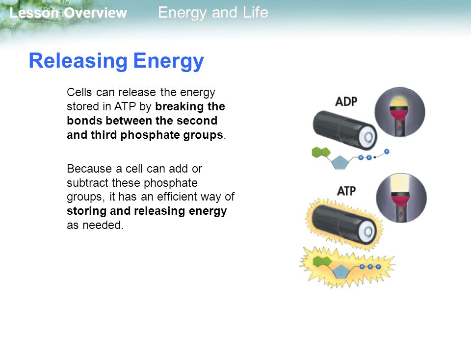 Releasing Energy Cells can release the energy stored in ATP by breaking the bonds between the second and third phosphate groups.