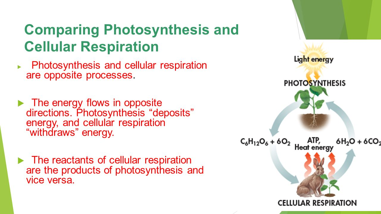 Unit 5: Photosynthesis and Cellular Respiration - ppt download