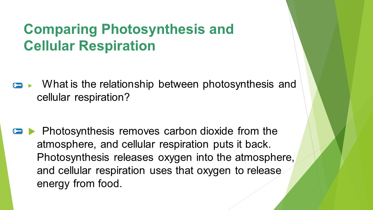 comparison of photosynthesis and respiration The comparison of mitochondria & chloroplasts  chloroplasts are concerned with photosynthesis whereas mitochondria re  is nadp whereas in aerobic respiration it.