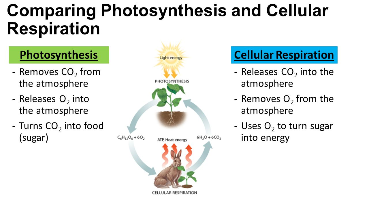 essay comparing photosynthesis and cellular respiration Emma barnes biology respiration and photosynthesis cycle respiration and photosynthesis cycle biology essay of cellular respiration and photosynthesis and.