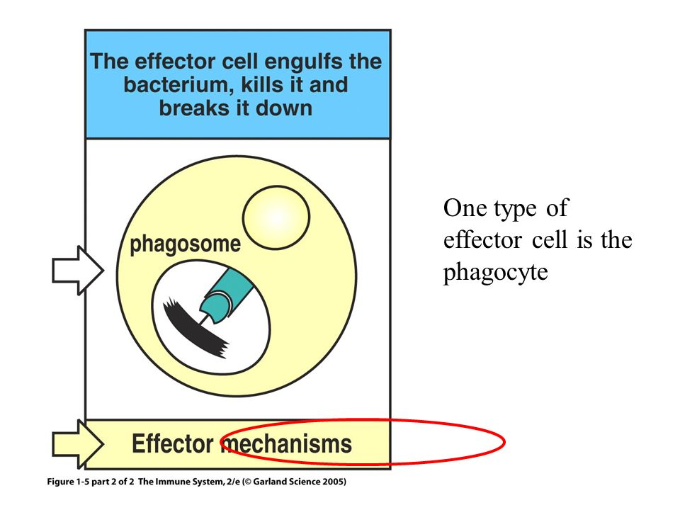 One type of effector cell is the phagocyte