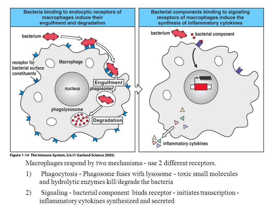Macrophages respond by two mechanisms - use 2 different receptors.