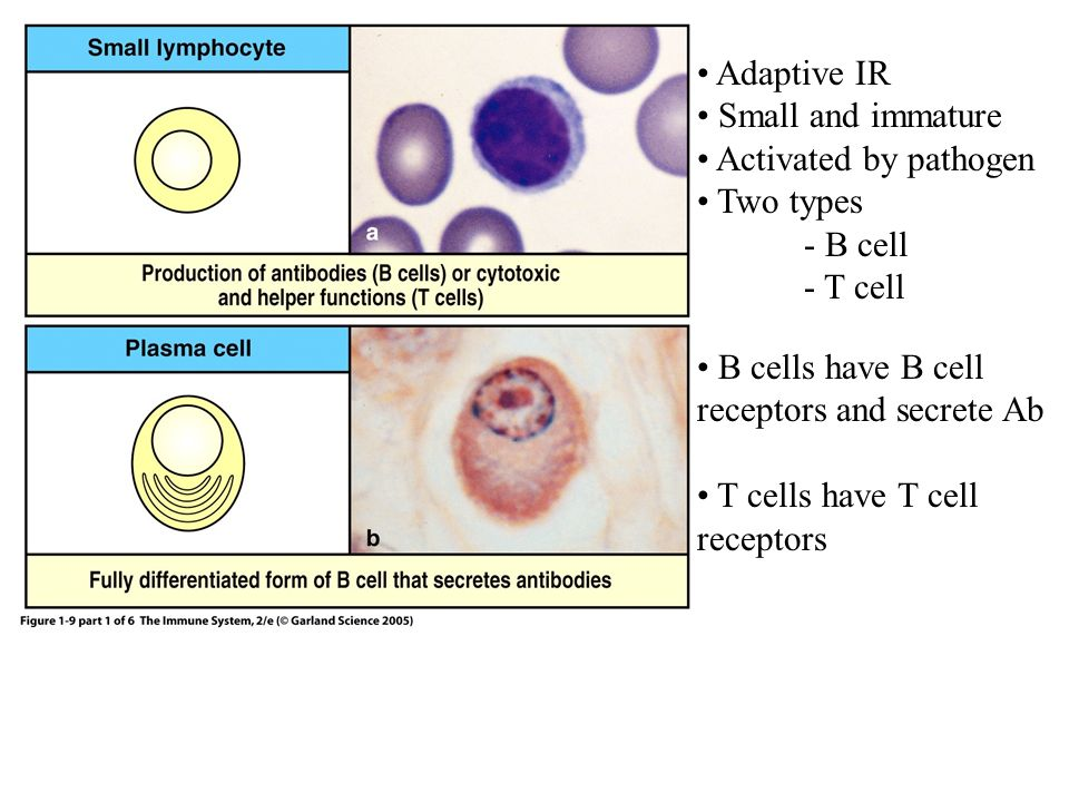 Adaptive IR Small and immature. Activated by pathogen. Two types. - B cell. - T cell. B cells have B cell receptors and secrete Ab.