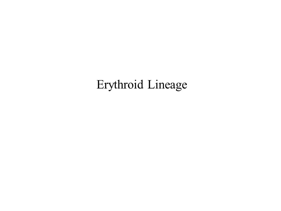 Erythroid Lineage