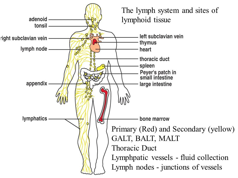 Figure 1-15 The lymph system and sites of lymphoid tissue