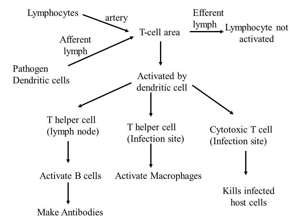 Lymphocyte not activated T-cell area Afferent lymph