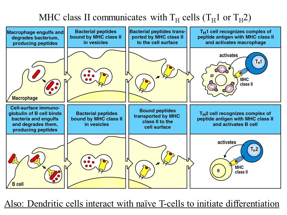 MHC class II communicates with TH cells (TH1 or TH2)