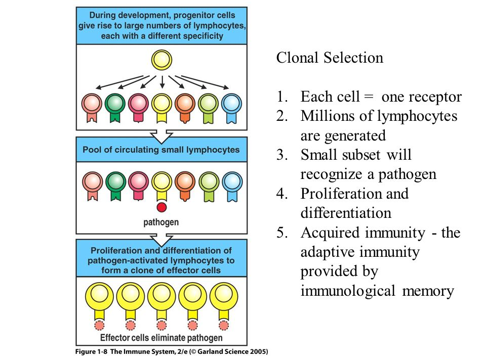Clonal Selection Each cell = one receptor. Millions of lymphocytes are generated. Small subset will recognize a pathogen.