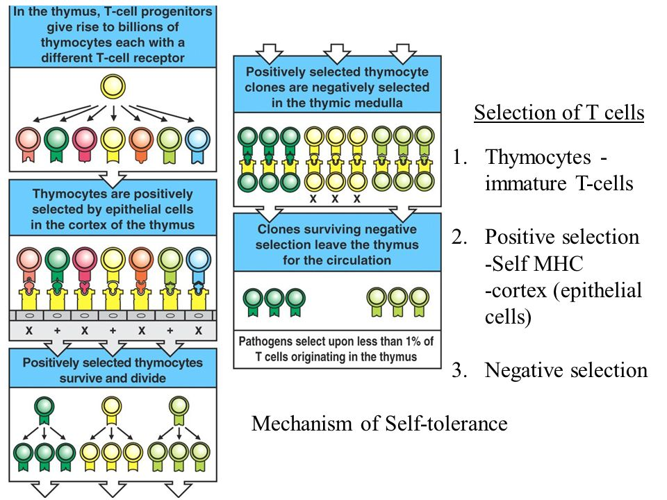 Selection of T cells Thymocytes - immature T-cells. Positive selection. -Self MHC. -cortex (epithelial cells)