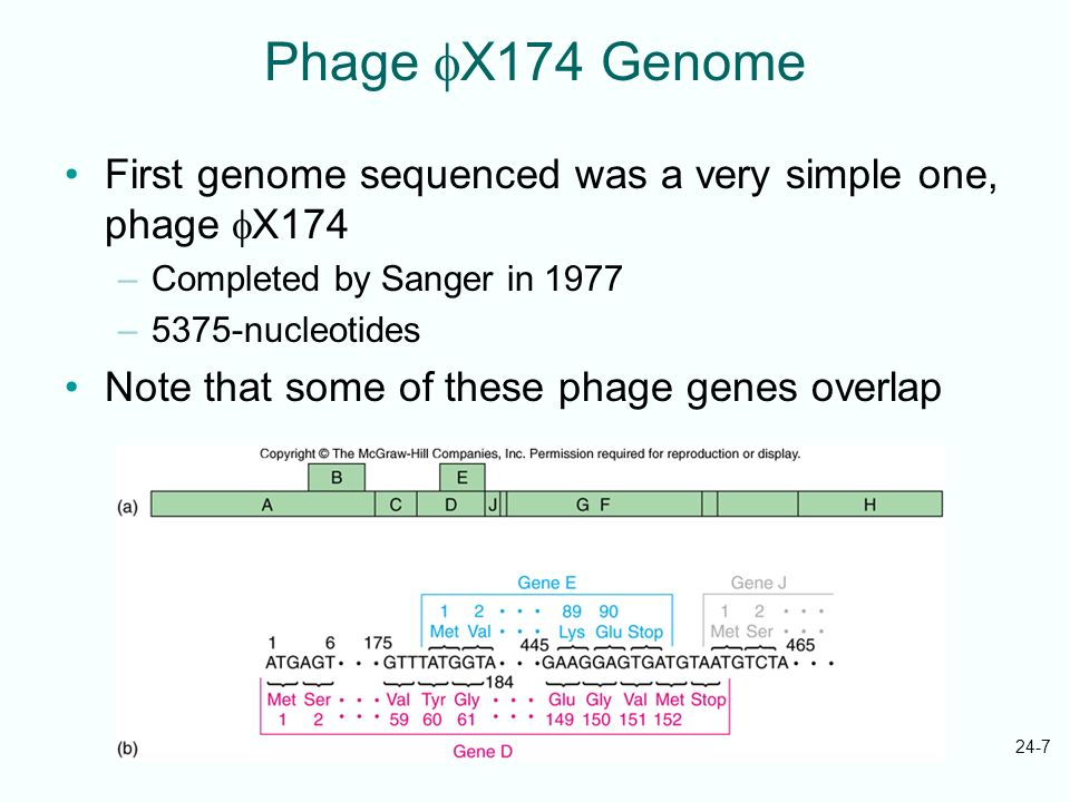 Phage X174 Genome First genome sequenced was a very simple one, phage X174. Completed by Sanger in