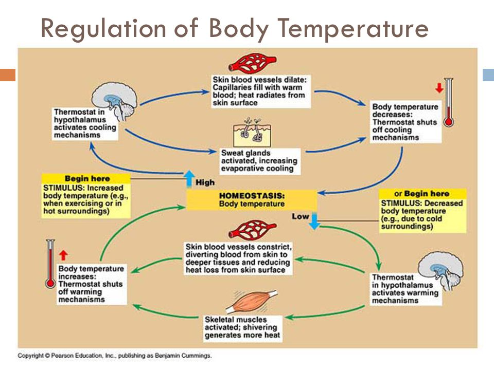 the temperature regulation in animals Physiology is body temperature (t b) an animal's thermal strategy serves to control the transfer of energy between  metabolic regulation heat production.