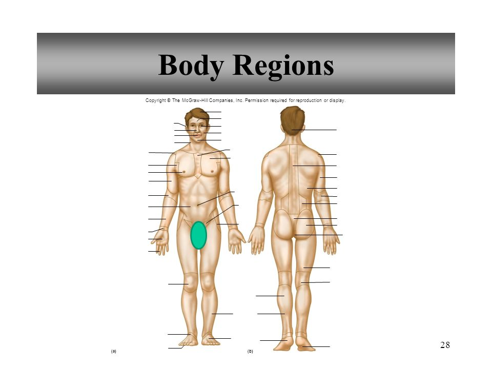 Magnificent Mcgraw Hill Connect Anatomy And Physiology Quiz Image ...
