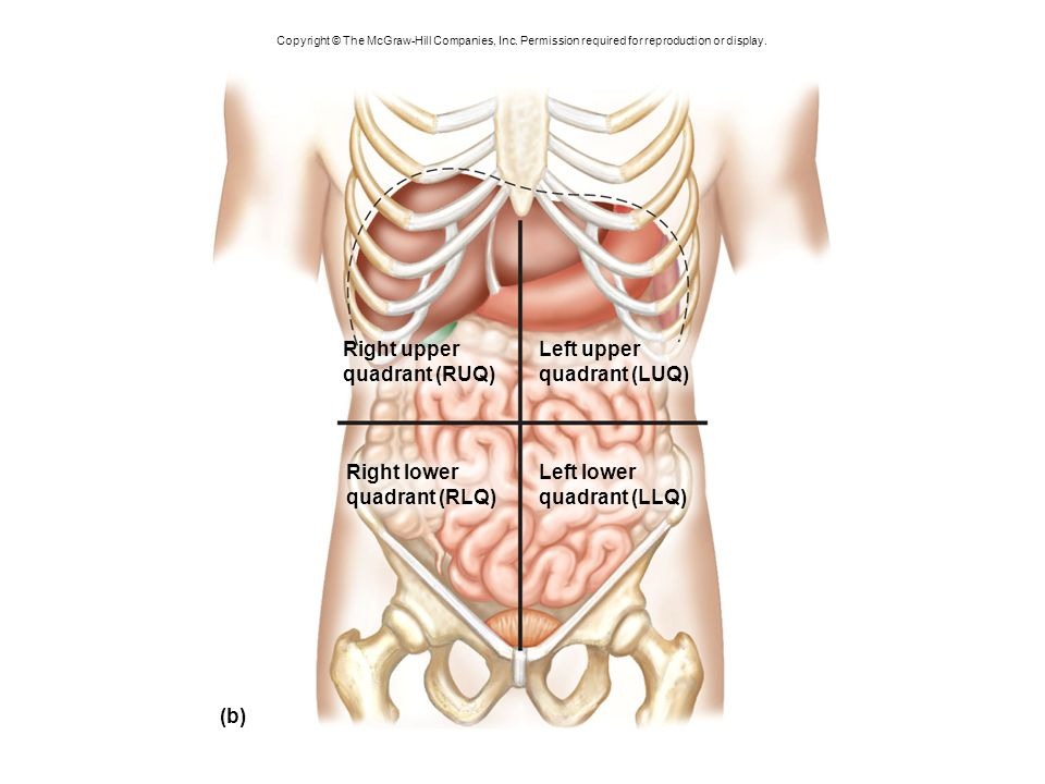 Anatomy Right Upper Quadrant Images - human body anatomy