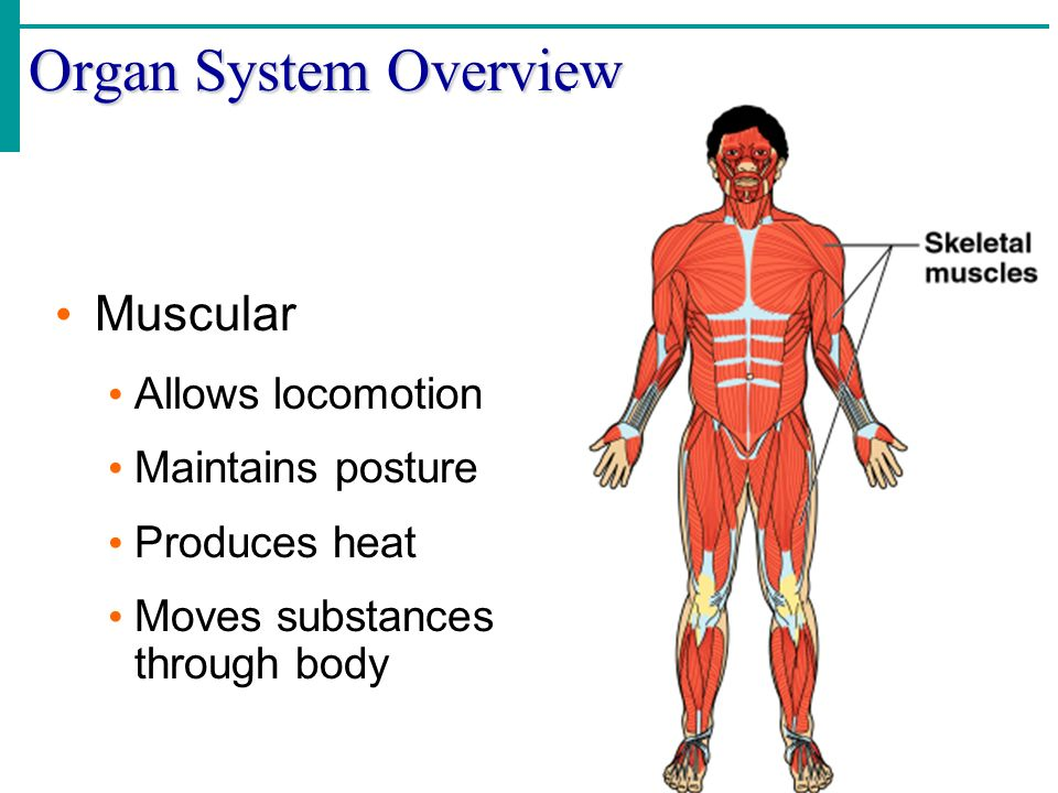 Organ System Overview Muscular Allows locomotion Maintains posture
