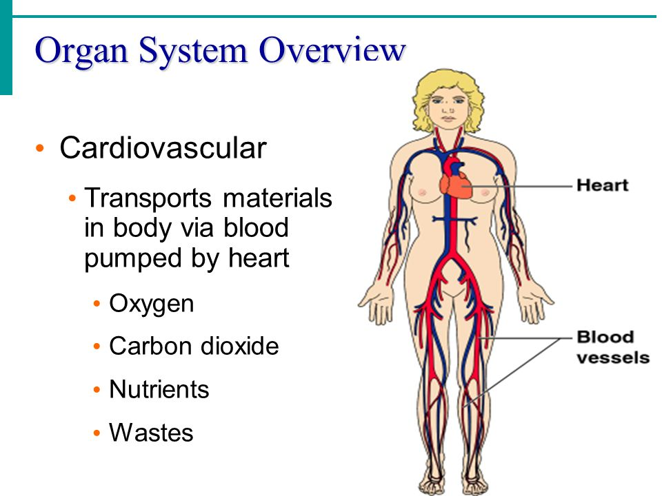 Organ System Overview Cardiovascular