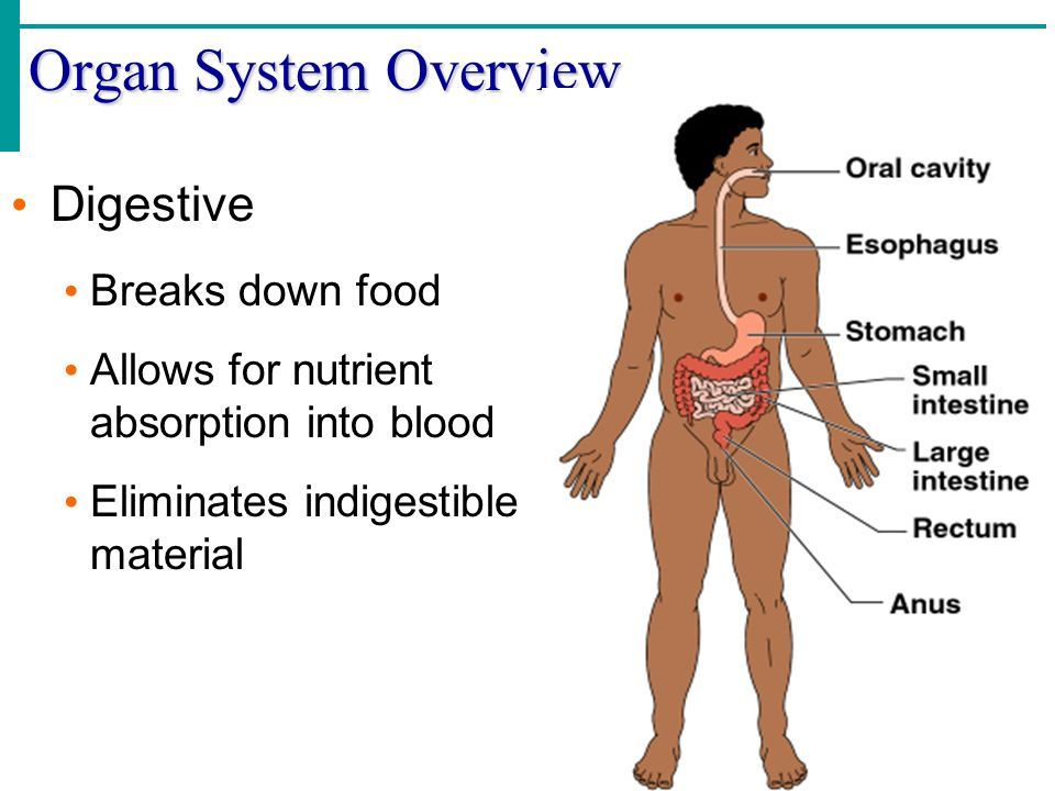 Organ System Overview Digestive Breaks down food