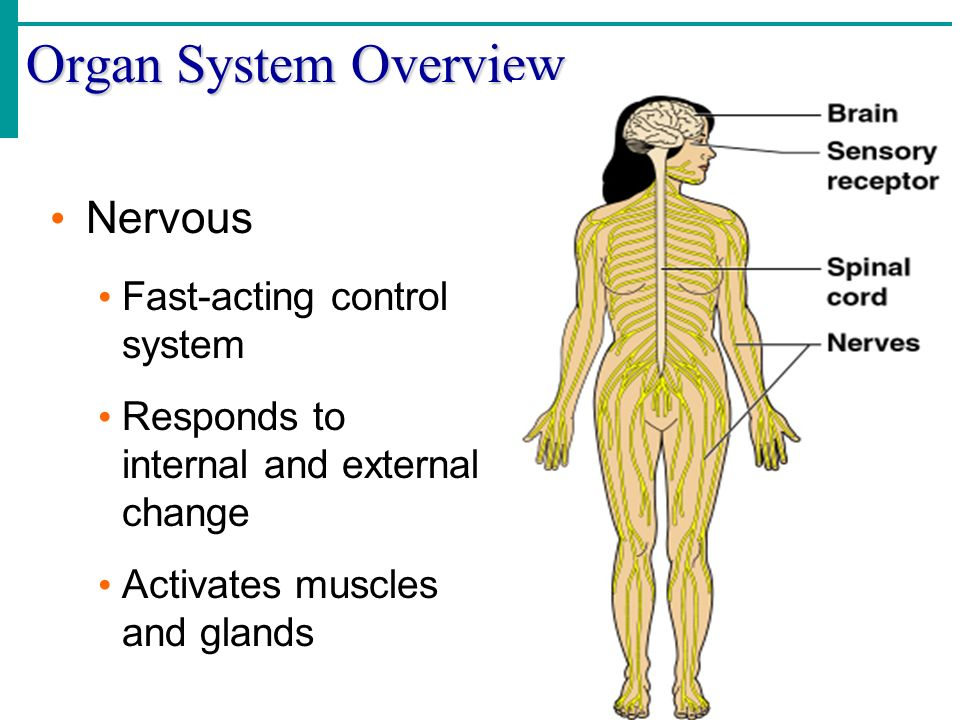 Organ System Overview Nervous Fast-acting control system