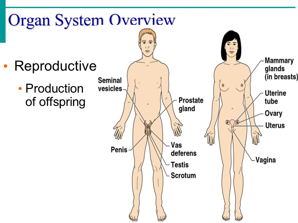 Organ System Overview Reproductive Production of offspring