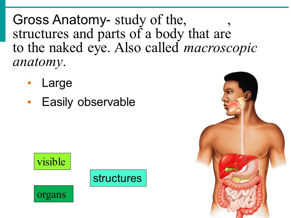 Gross Anatomy- study of the, , structures and parts of a body that are to the naked eye. Also called macroscopic anatomy.