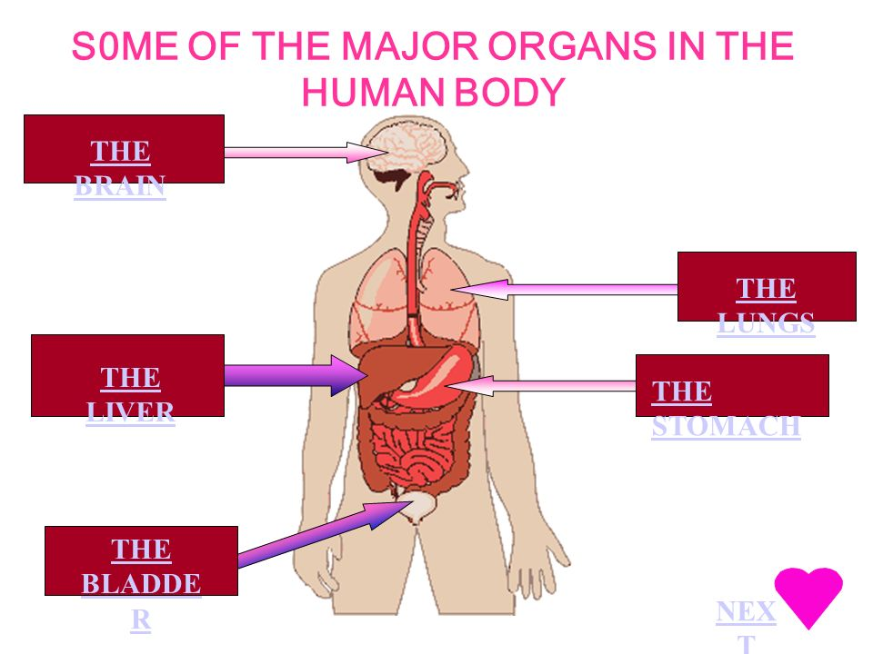 S0ME OF THE MAJOR ORGANS IN THE HUMAN BODY