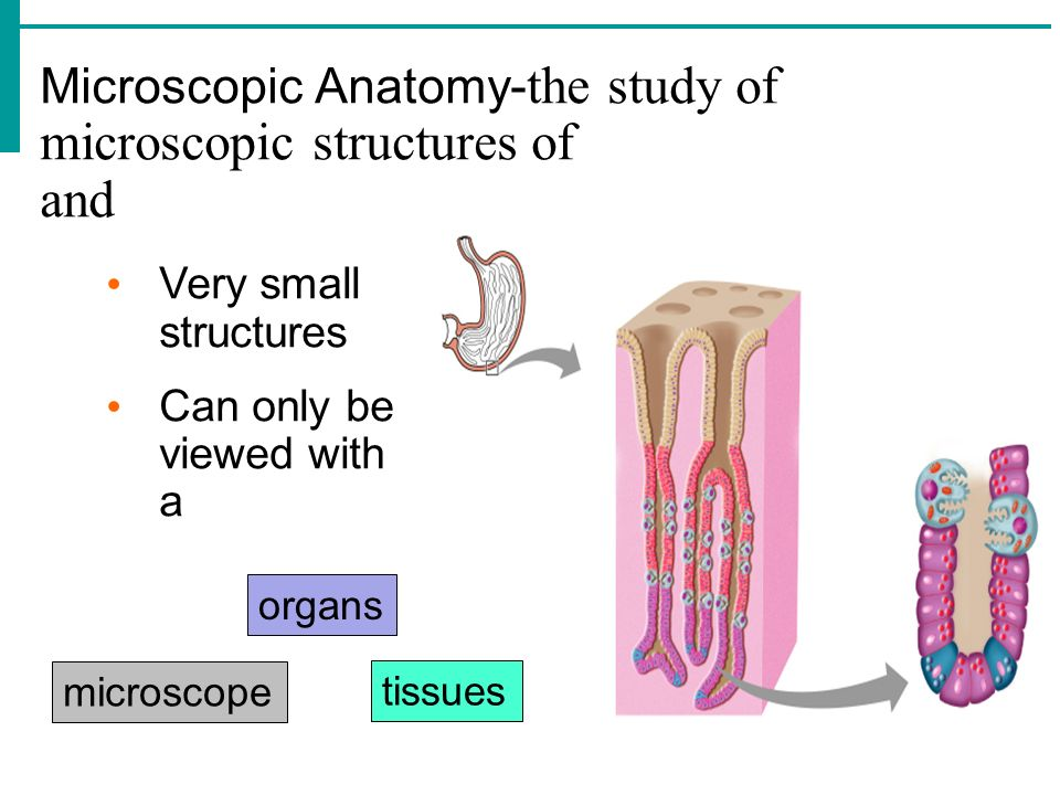 Microscopic Anatomy-the study of microscopic structures of and