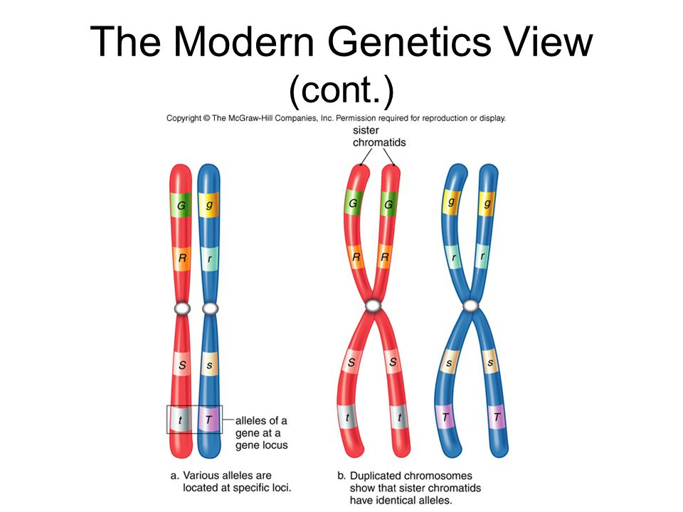 The Modern Genetics View (cont.)