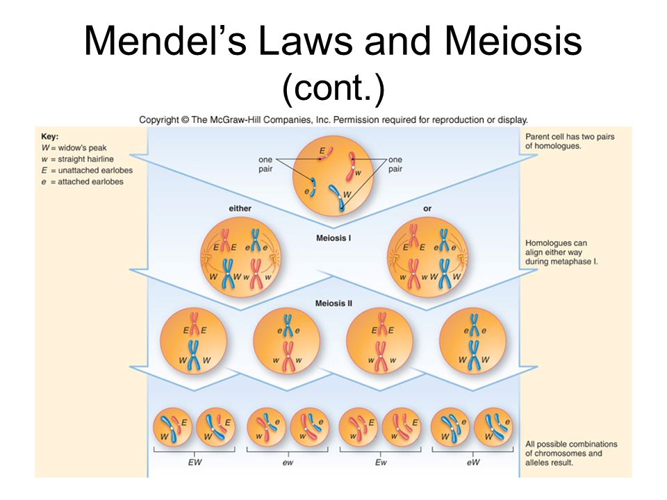 Mendel's Laws and Meiosis (cont.)
