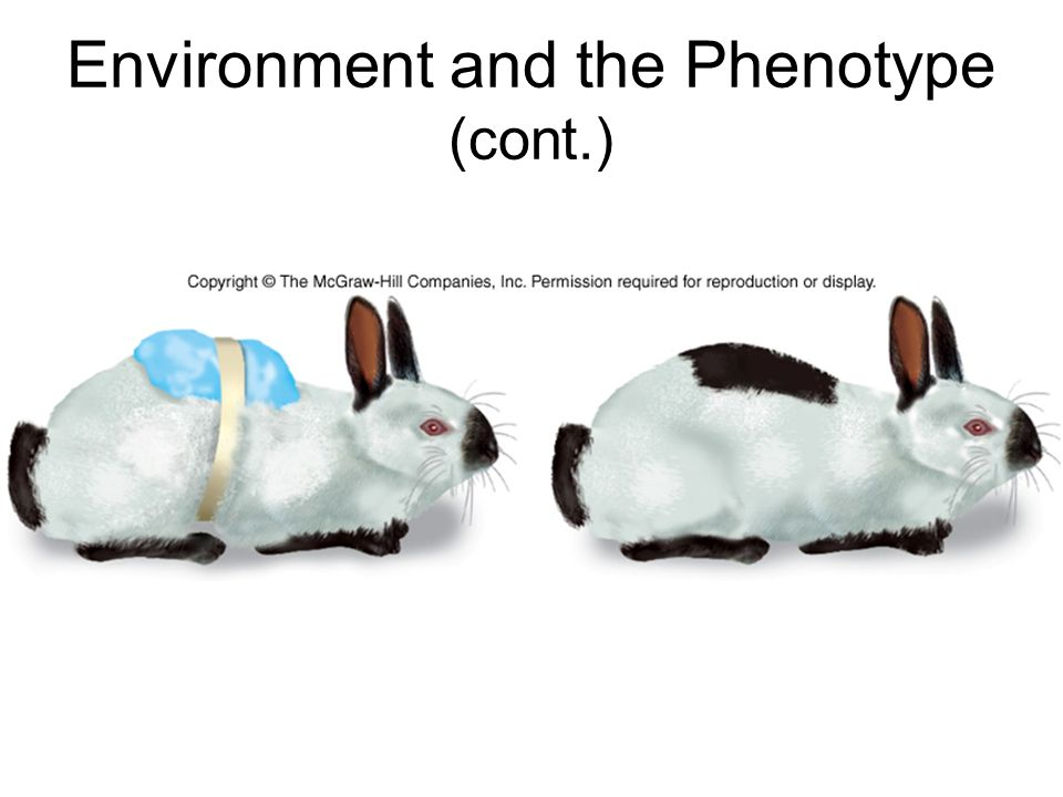 Environment and the Phenotype (cont.)