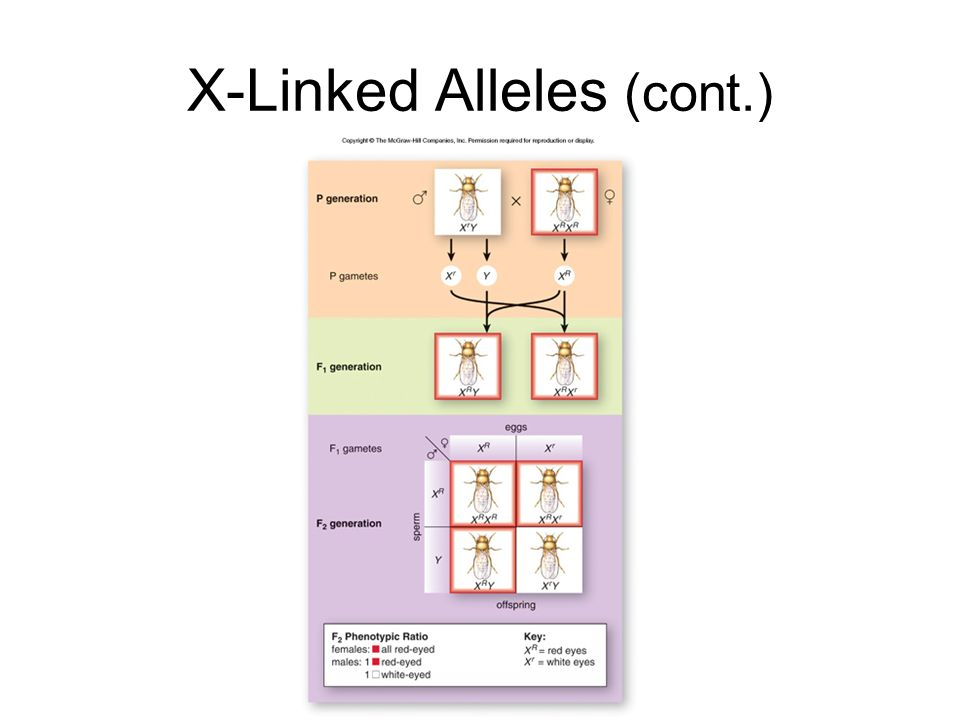 X-Linked Alleles (cont.)