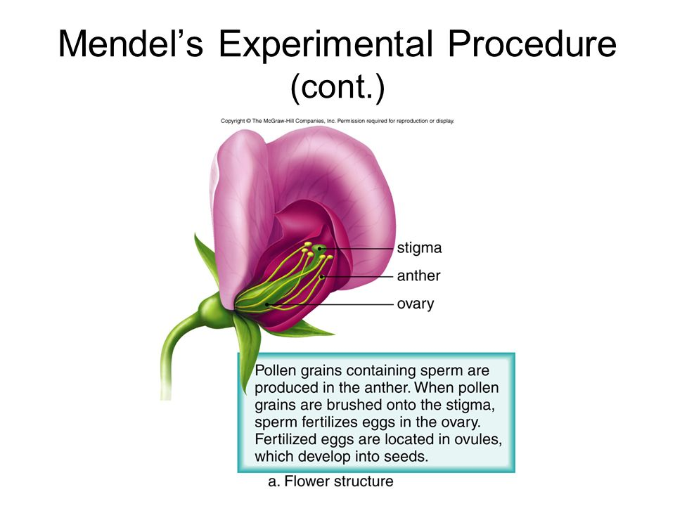 Mendel's Experimental Procedure (cont.)