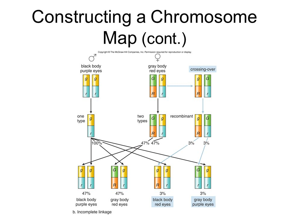 Constructing a Chromosome Map (cont.)