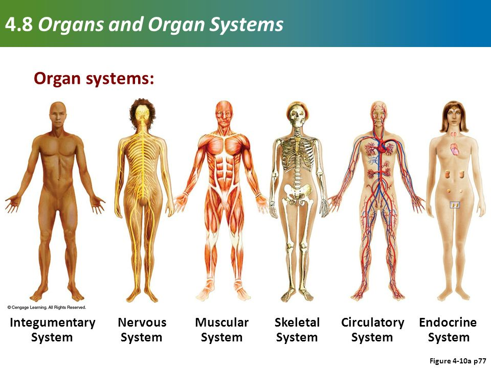 tissues, organs, and organ systems - ppt download, Human Body