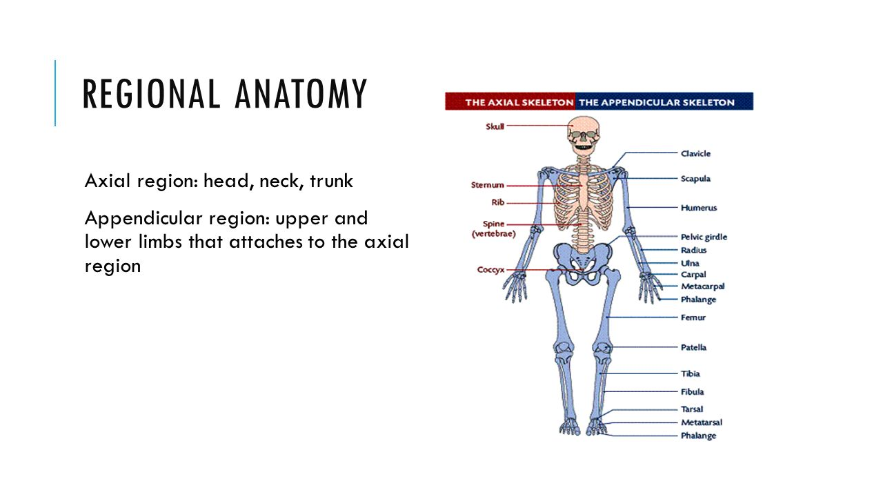 Head anatomy definition