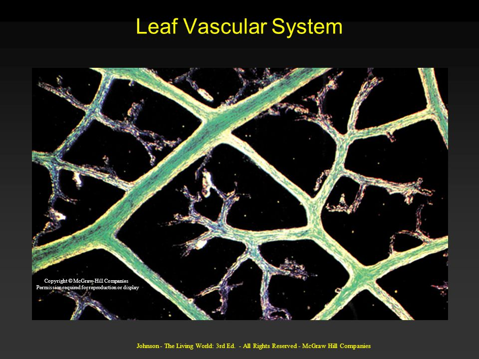 Leaf Vascular System Copyright © McGraw-Hill Companies. Permission required for reproduction or display.