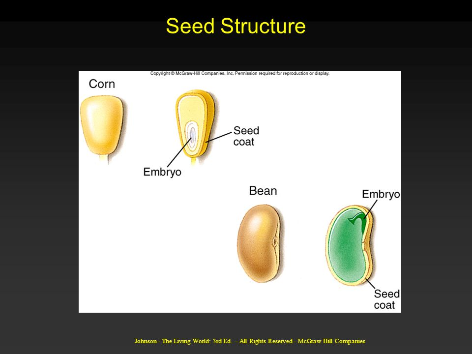 Seed Structure Johnson - The Living World: 3rd Ed. - All Rights Reserved - McGraw Hill Companies