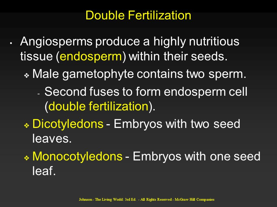 Male gametophyte contains two sperm.