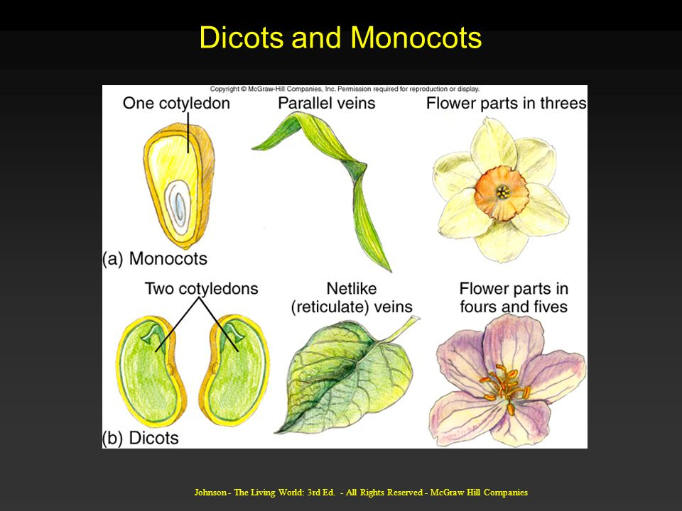Dicots and Monocots Johnson - The Living World: 3rd Ed.