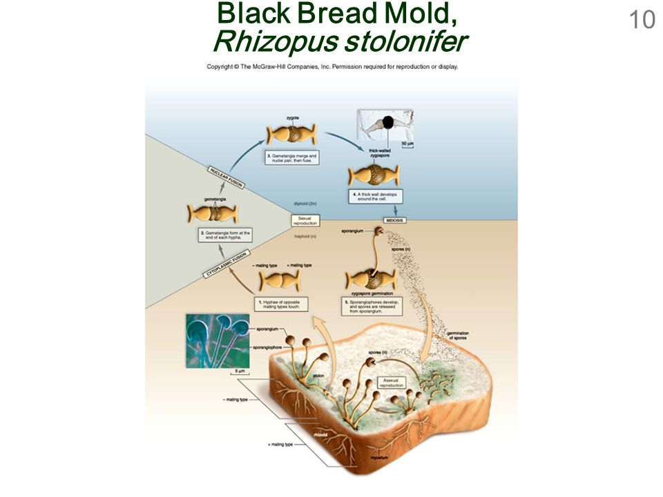 Black Bread Mold, Rhizopus stolonifer