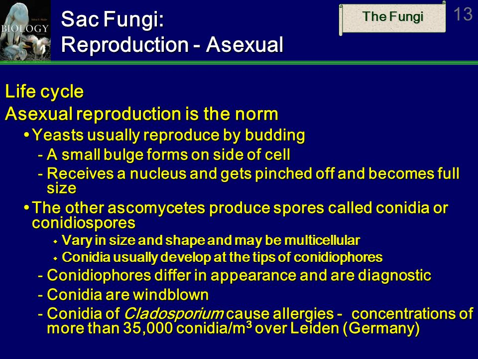 Sac Fungi: Reproduction - Asexual